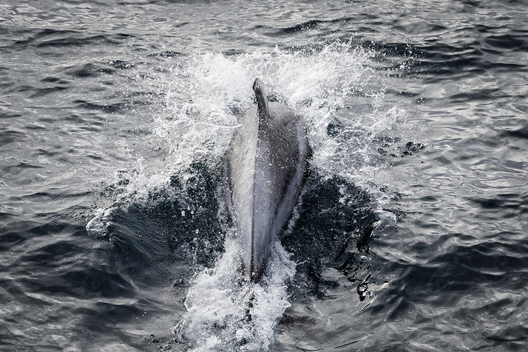 White Beaked Dolphin in Barents Sea