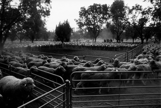 Livestock Sale - Drought Documentation Australia