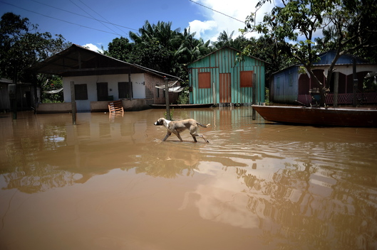A Dog Wades Through Flooded Street in Porto Velho