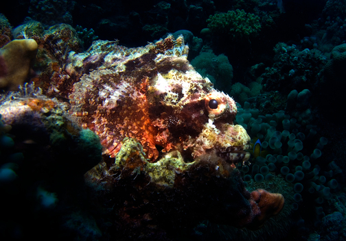 Bearded Scorpionfish in Egypt