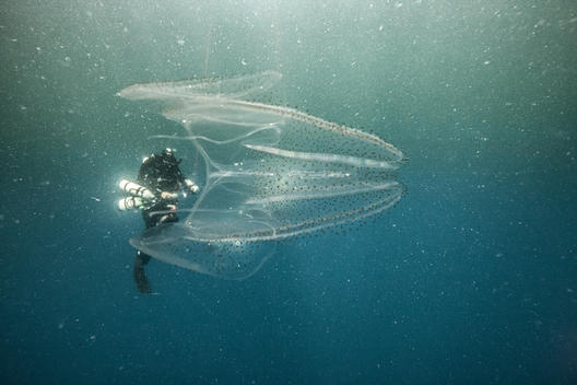 Salp in the French Guiana Waters