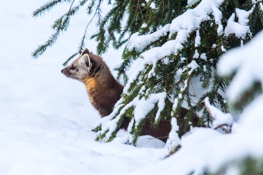 American Pine Marten in Canadian Boreal Forest