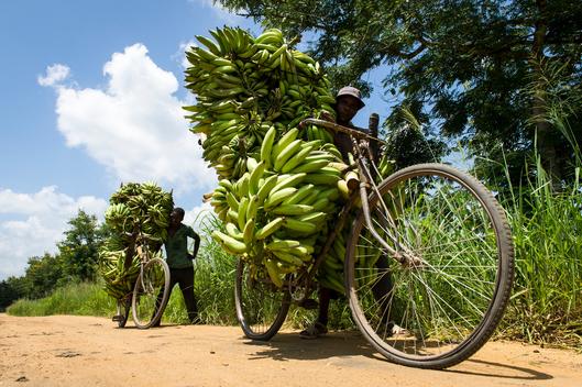 Transporting Bananas to Market near Mbingu