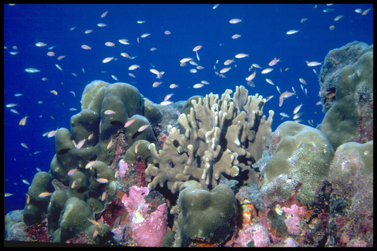 Coral reef with marine life off the island of Pulo Anna, Belau  Islands, Pacific.