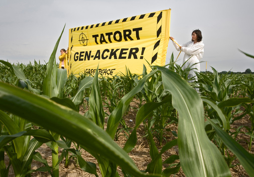 Action against Illegal GE Maize in Germany