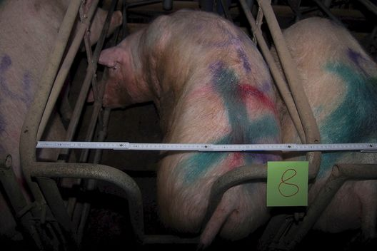 Sows in Gestation Cages in Thuringia, Germany