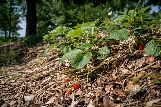 Strawberries from Agroforestry in France