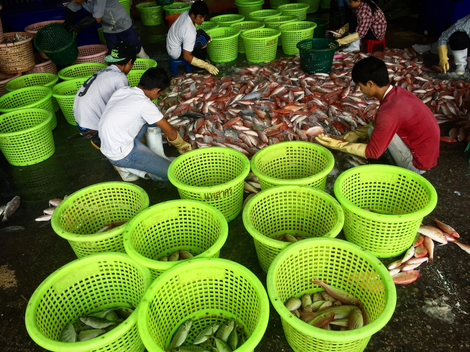Workers Sort Fish in Thailand