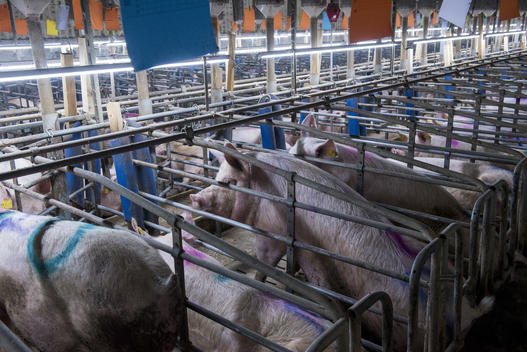 Sows and Piglets in Gestation Cages in Thuringia