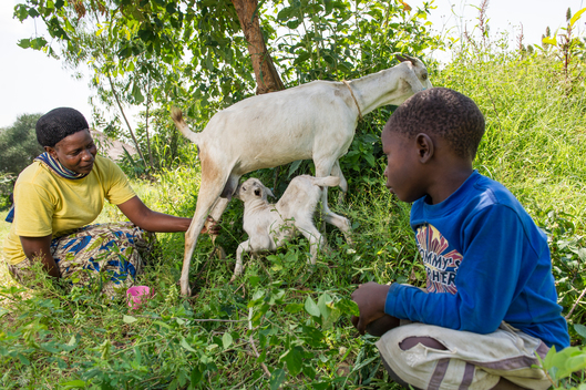 Goats at Ecological Farm in Kenya