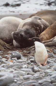 Adelie Penguin and Seals