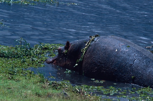 Hippopotamus in the Swamp in Botswana