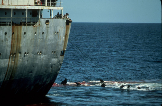 Factory Ship Dalniy Vostok and Killed Whales