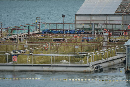 Belugas Prisoners at the Whale Jail in Russia