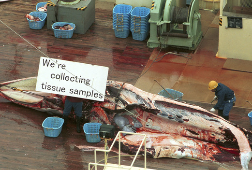 Dead Minke Whales on the Deck of the Japanese Whaling Factory Ship, Nisshin Maru