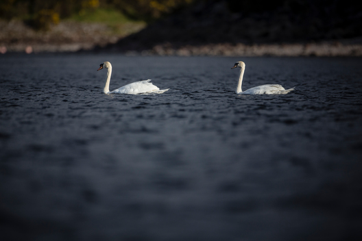 Swans in the Caledonian Canal, Scotland