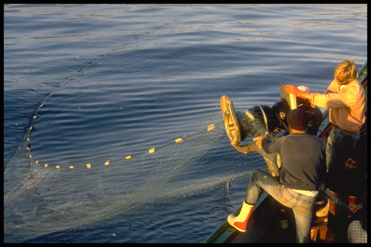Hauling confiscated Japanese driftnet on board RAINBOW WARRIOR, North Pacific.