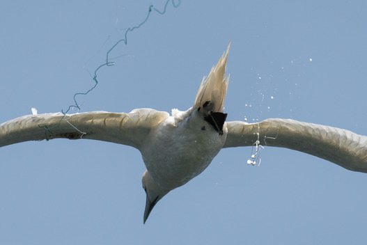 Gannet Entangled in Fishing Lines in West Africa