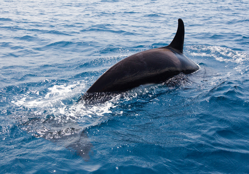 An Orca Surfaces near Sri Lanka