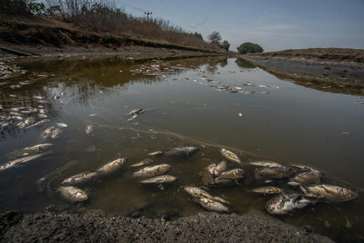 Dead Fish after Oil Spill in Karawang, West Java