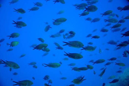 Damselfish - Mediterranean 2006