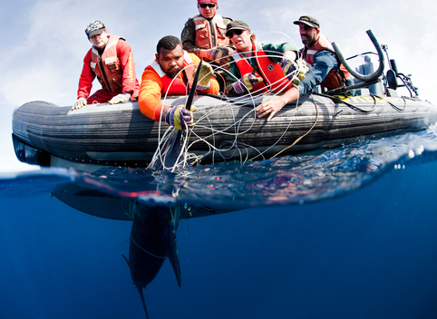Marlin Released in the Pacific Ocean