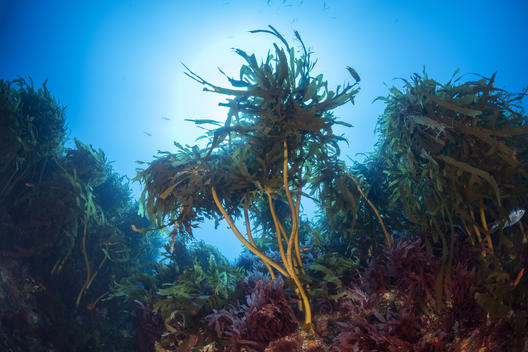 Kelp Canopy on One of Mount Vema's Summits