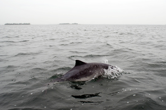 Harbour Porpoise in Netherlands