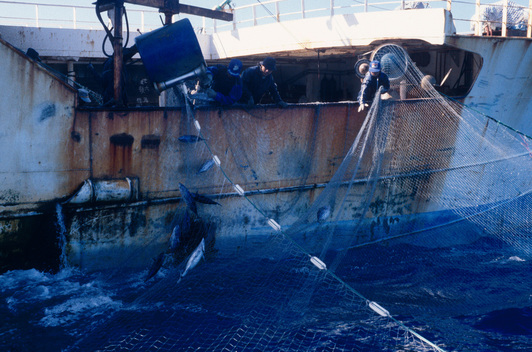 Taiwanese Driftnetter Fishing for Tuna