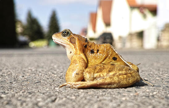 Toad on the Street in Germany