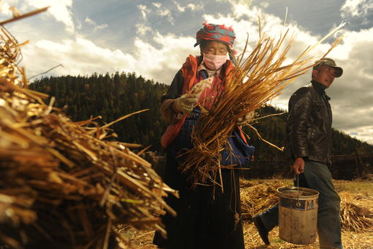 Villagers Harvest Barley in Yunnan province of China