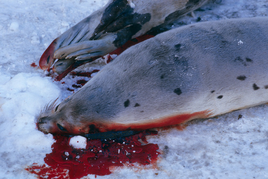 Harp Seal Slaughter on Lofoten