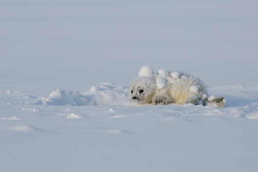 Young Seal Pup in the Snow in Svalbard