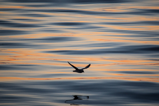 Bird in Baffin Bay