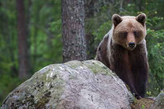 Brown Bear in Sweden