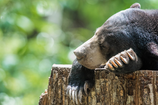Sun Bear Conservation Centre in Borneo