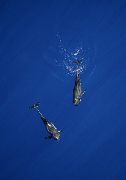 Dolphins in the Indian Ocean