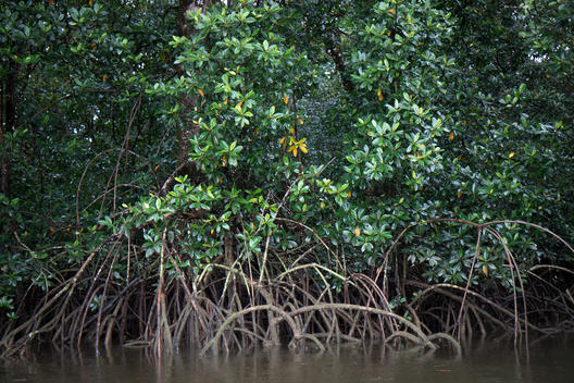 Mangrove Forest in French Guiana