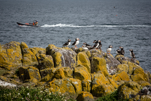 Puffins on the Isle of May Scotland