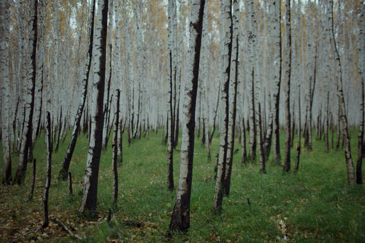 Boreal Wildfire Aftermath in Russia