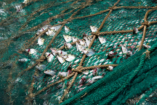 Fish in Net on Chinese Fishing Vessel in Guinea
