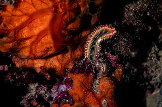 Bearded Fireworm in the Mediterranean Sea, Siracusa, Sicily