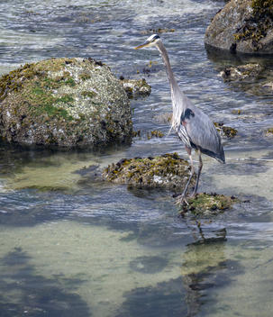 Great Blue Heron in Vancouver