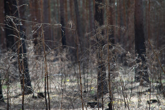 Forest Affected by Drought in Brandenburg