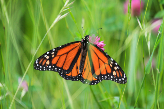 Monarch Butterfly in Canadian Boreal Forest