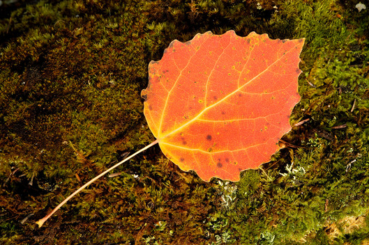 Autumn Leaf in Siberia