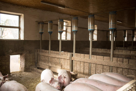 Pig Farm in Wendland, Northern Germany