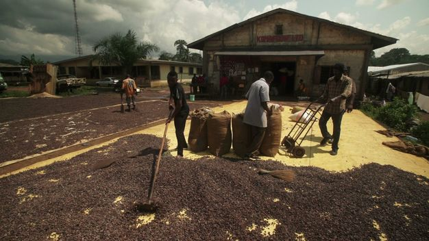 Konye's Cocoa - Forest Solutions Cameroon (B-ROLL)