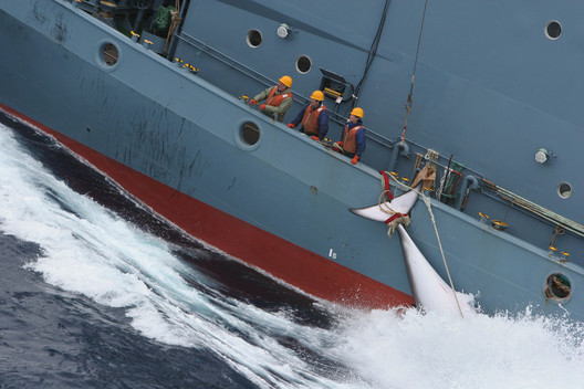 Japanese Whaling Fleet continues its hunt in the New Year - Southern Ocean Tour 2005 - Sutton-Hibbert
