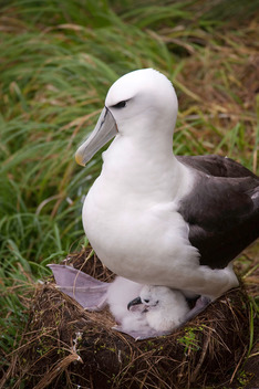 White-capped Albatross and Chick in New Zealand